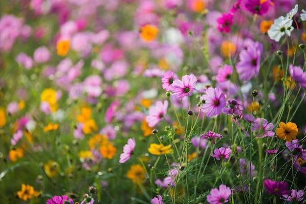 A flor do cosmos da pastagem Foto Premium