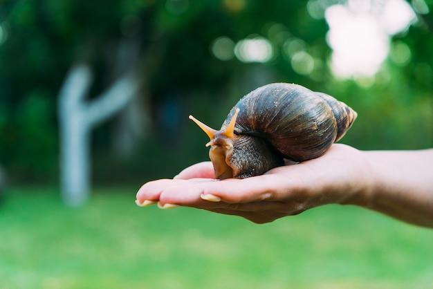 A garota tem um grande caracol na mão. um grande caracol puro-sangue Foto Premium