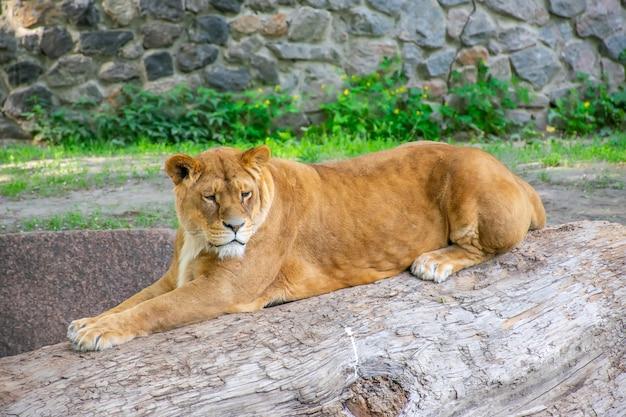 A graciosa leoa vive em um zoológico pitoresco. Foto Premium