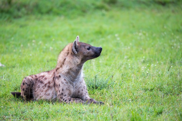 A hiena está deitada na grama na savana do quênia Foto Premium