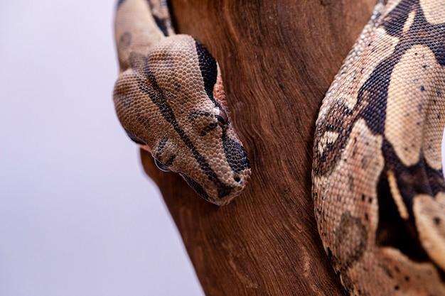 A jibóia (jibóia), também chamada de jibóia de cauda vermelha ou jibóia comum, é uma espécie de cobra grande, não venenosa e de corpo pesado, que é frequentemente mantida e criada em cativeiro. Foto Premium
