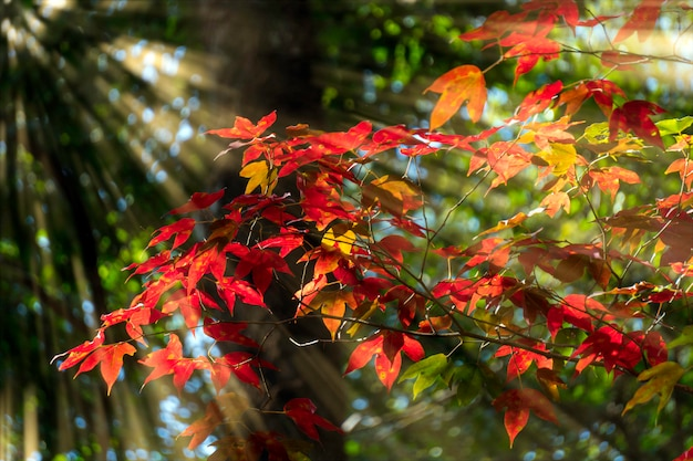 A luz brilha através da árvore com folhas vermelhas. Foto Premium