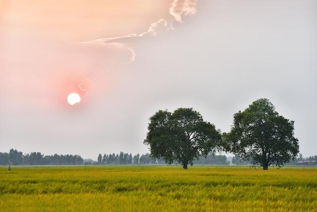 A madeira grande no campo do arroz que tem o pinheiro como o fundo com o belo do pôr do sol. Foto Premium