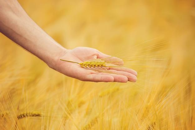 A mão da criança e do pai no campo de trigo. foco seletivo. Foto Premium