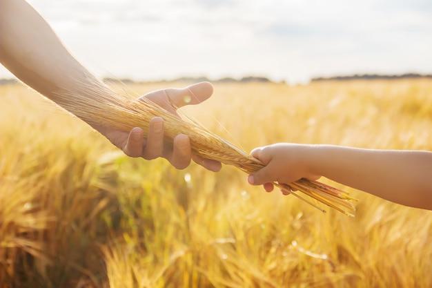 A mão da criança e do pai no campo de trigo. Foto Premium