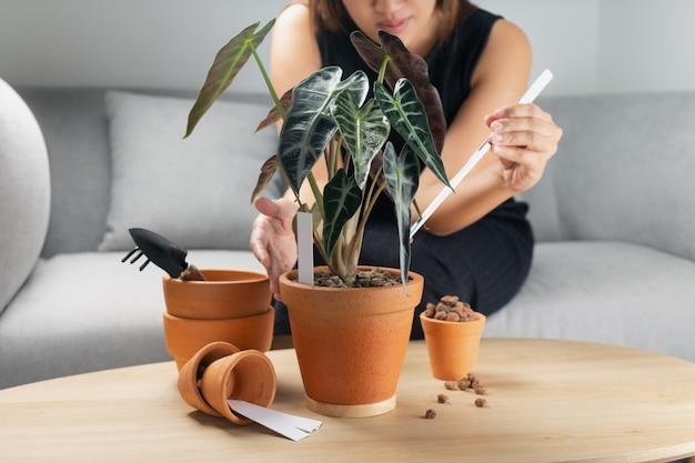 A mão da mulher transplante a flecha de alocasia bambino ou o touro alocasia sanderiana no pote de barro sobre a mesa de madeira. conceito de jardim doméstico Foto Premium