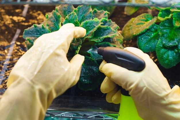 A mulher em luvas de borracha pulverizou plantas das pragas em uma estufa home. controle de pragas. Foto Premium
