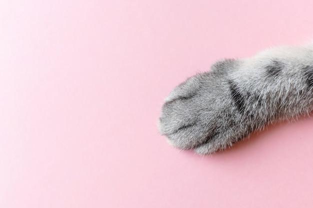 A pata do gato listrado cinzento em um rosa. Foto Premium