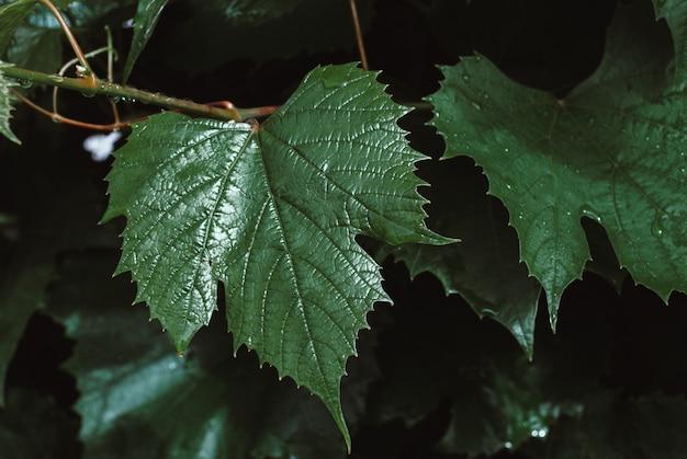 A uva verde deixa o fundo. folhagem de vinho Foto Premium