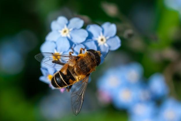 Abelha coletando pólen de algumas flores azuis não-me-esqueças Foto Premium
