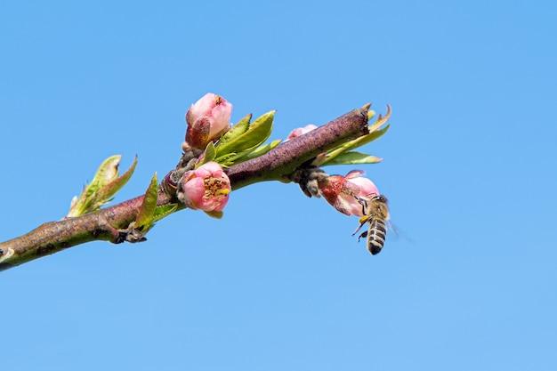 Abelha coletando pólen de uma árvore de pêssego florescendo. Foto gratuita