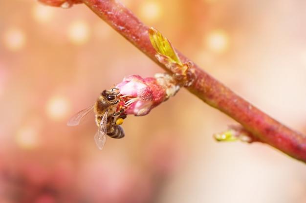 Abelha coletando pólen de uma árvore de pêssego florescendo. Foto Premium