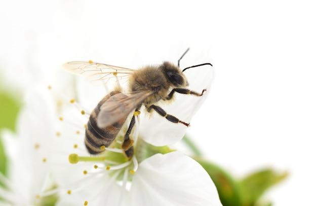 Abelha de mel e flores de cerejeira branca Foto Premium