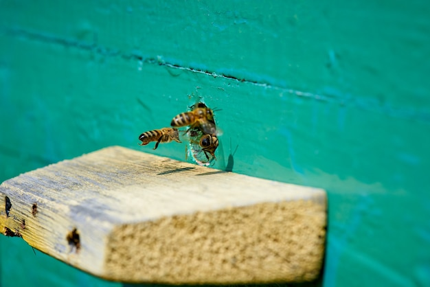 Abelha na entrada de uma colméia de madeira. Foto Premium