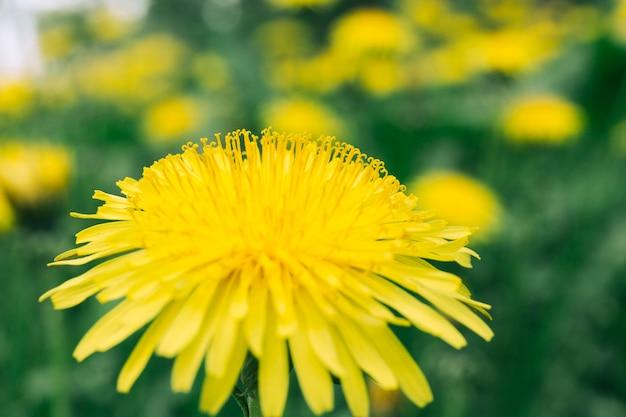 Abelha na flor amarela de dente de leão Foto gratuita