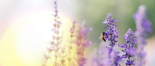 Abelha polinizadora trabalhando em flores roxas - azuis da sálvia azul ou em sálvia carnuda a flor ornamental Foto Premium