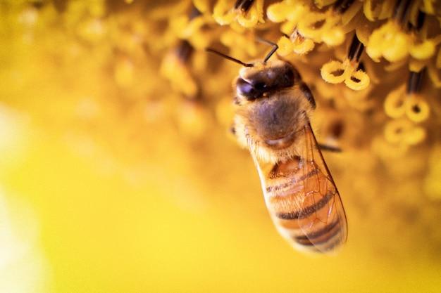 Abelha recolhe néctar de um girassol Foto Premium