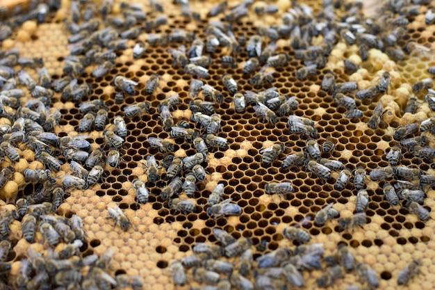 Abelhas no quadro de mel Foto Premium