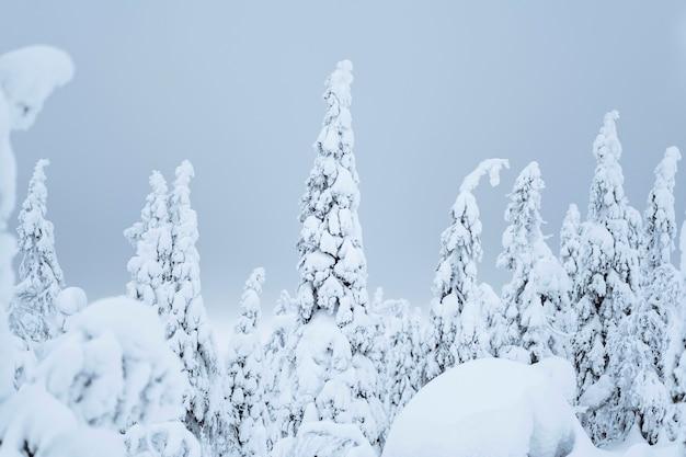 Abetos cobertos de neve no parque nacional riisitunturi, finlândia Foto gratuita