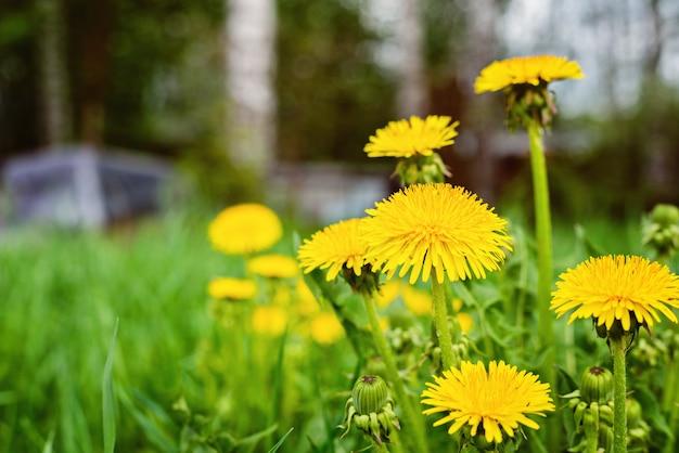 Abstrato com grama verde e flores amarelas-leão ou tussilago farfara Foto Premium