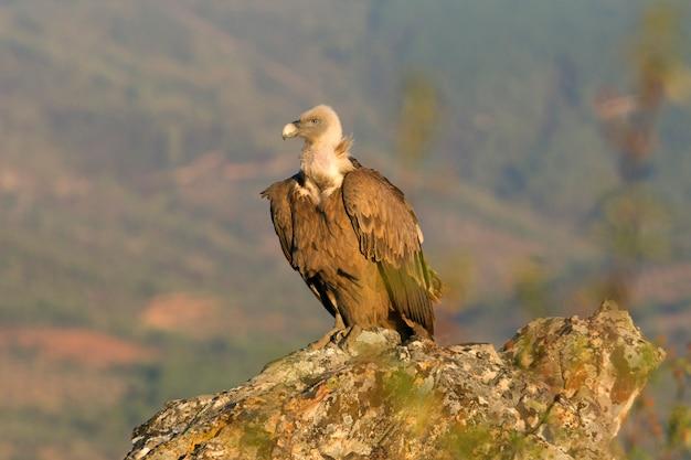 Abutre-selvagem em estado selvagem Foto Premium