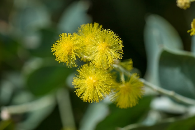 Acácia podalyriifolia, flores amarelas, fragrância leve em um buquê redondo Foto Premium