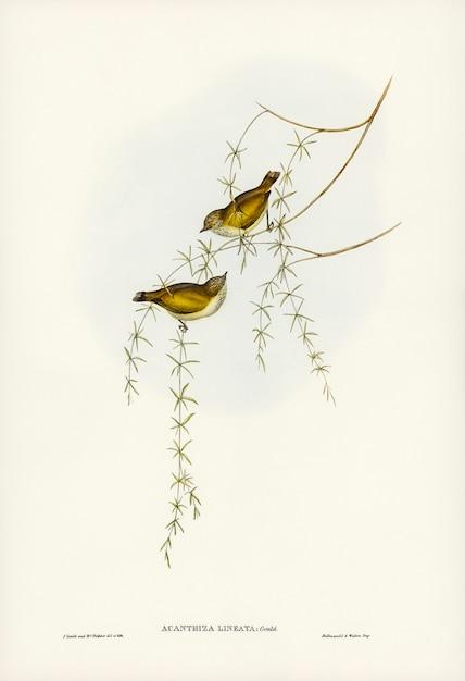 Acanthiza estriada (acanthiza lineata) ilustrada por elizabeth gould Foto gratuita