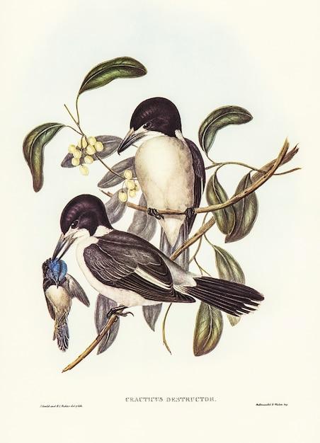 Açougueiro-pássaro (cracticus destructor) ilustrado por elizabeth gould Foto gratuita