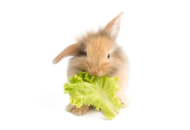 Adorável bebê coelho comendo repolho em fundo branco Foto Premium