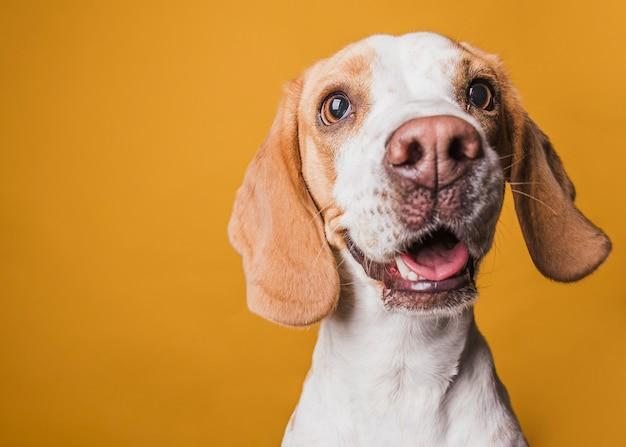 Adorável cachorro olhando para o fotógrafo Foto Premium