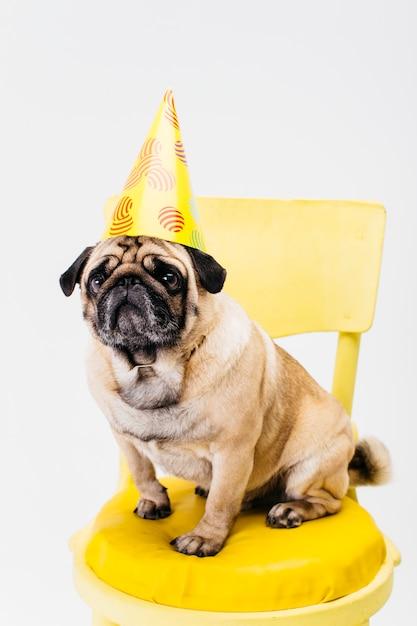 Adorável cão pequeno no chapéu de aniversário sentado na cadeira Foto gratuita