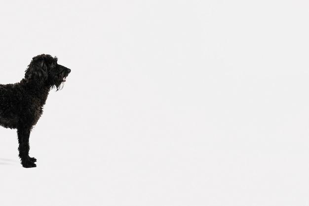 Adorável cão preto posando com fundo branco Foto gratuita