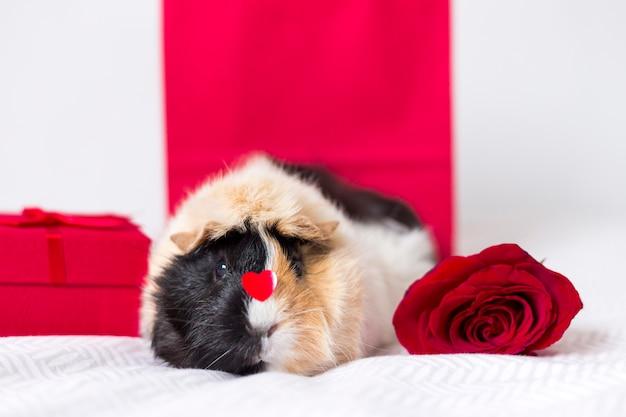 Adorável cavy doméstico com rosa vermelha Foto gratuita