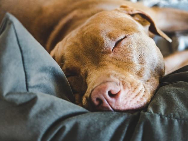 Adorável, lindo cachorrinho de cor chocolate. fechar-se Foto Premium