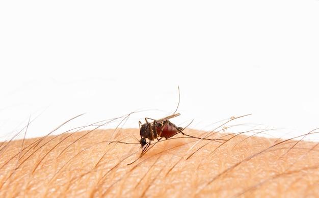 Aedes aegypti. feche acima de um mosquito que suga o sangue humano. Foto Premium