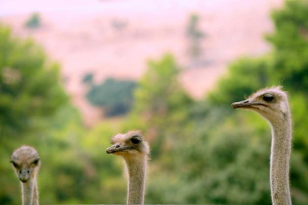 Africano, três, avestruz, retrato, engraçado, família, verde, ao ar livre Foto Premium