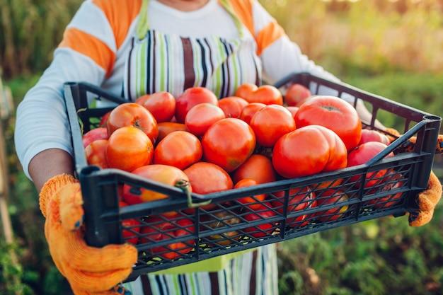 Agricultor de mulher segurando a caixa de tomates vermelhos na fazenda eco, reunindo colheita de outono de legumes, jardinagem Foto Premium