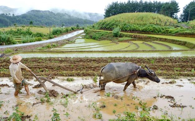 Agricultor e búfalo tiller Foto Premium