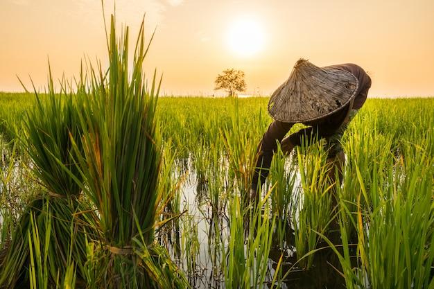 Agricultor é transplante de mudas de arroz no lago na aldeia de pakpra, phatthalung, tailândia Foto Premium