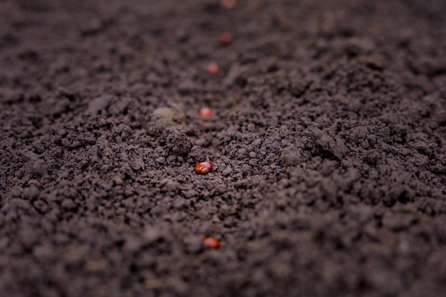 Agricultor indiano, plantio de sementes de lentilha Foto Premium