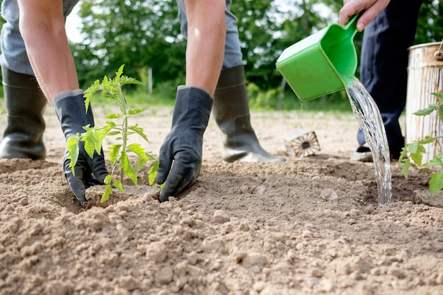 Agricultor plantar mudas de tomate Foto Premium
