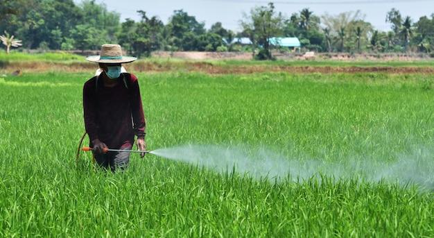 Agricultor pulverização de pesticidas no campo de arroz verde Foto Premium