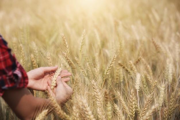 Agricultor segurando a cevada dourada nas mãos com terras. Foto Premium