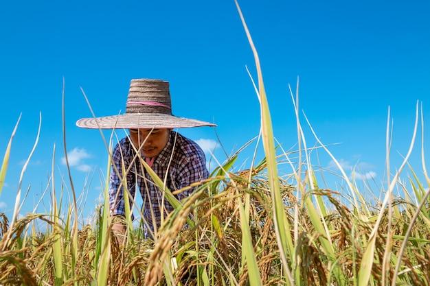 Agricultores a colheita de arroz nos campos no céu azul brilhante Foto Premium