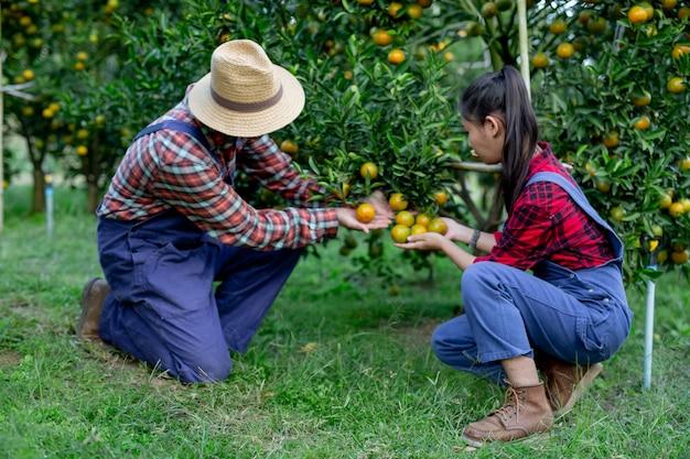 Agricultores coletando laranjas juntos Foto gratuita