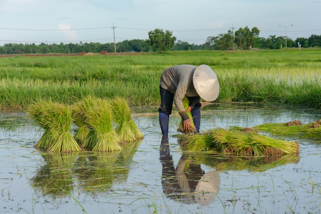Agricultores da ásia são retiradas mudas de arroz. o plantio da estação do arroz deve ser preparado para o plantio. Foto Premium