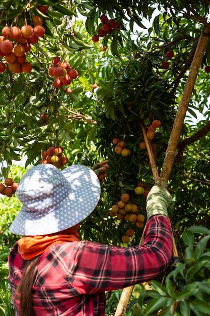 Agricultura de fruta lichia na tailândia Foto gratuita