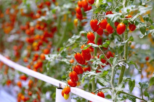 Agricultura do crescimento vermelho e amarelo maduro fresco da plantação dos tomates no jardim orgânico da estufa pronto para colher. Foto Premium