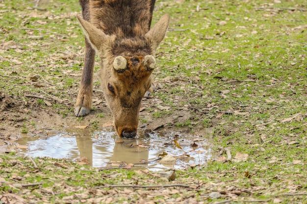 Água bebendo dos cervos bonitos amigáveis selvagens japoneses. Foto Premium