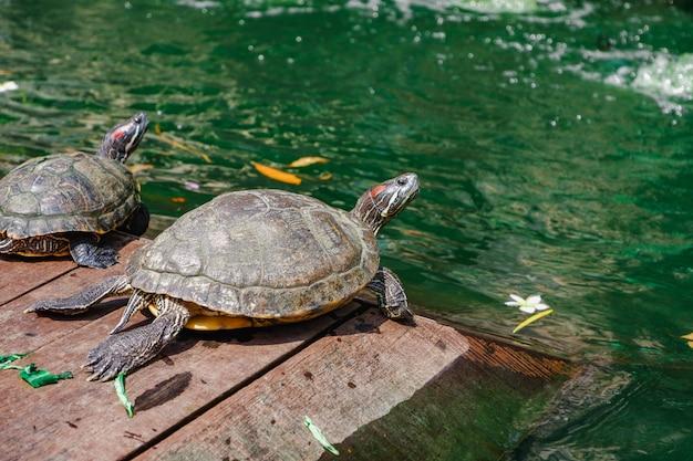 Água vermelha da tartaruga do slider orelhudo Foto Premium